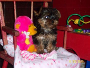 Registered Yorkie Puppies For Sale In Arkansas